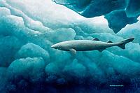 Greenland shark, Somniosus microcephalus, illustration