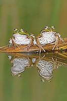 Edible Frog (Rana esculenta), adults on log, Switzerland, Europe