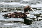Common eider female swimming right.