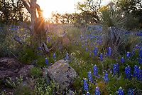 Sunset flares paint a field of Texas Bluebonnets, pink granite formations and Yucca plants along a spring meadow, Lake Buchanan