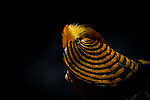 Golden pheasent looks like a cross between a bull fighter or Pharaoh by Sundeep Kumar