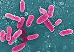 Bacteria, Salmonella goodhue, rod-shaped gram-negative enterobacteria; cause typhoid fever and food poisoning
