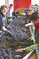 Hand selecting the bad grapes at a sorting table. Chateau Haut Marbuzet, Saint Estephe, medoc, Bordeaux, France