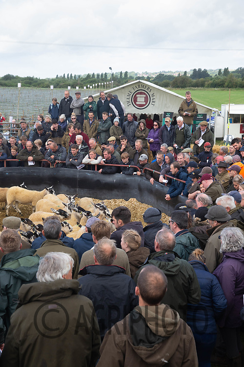 6-8-2021 Thame Summer sheep fair 2021<br /> ©Tim Scrivener Photographer 07850 303986<br />      ....Covering Agriculture In The UK....