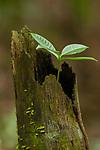 Sapling sprouting from old tree, Metropolitan Natural Park, Panama City, Panama