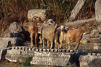 Europe/Turquie/Pergé : Détail de l'amphithéâtre construit au II° siècle - Détail chèvres dans les ruines