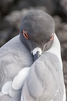 Swallow-tailed Gull (Larus furcatus), Galapagos Islands, Pacific Ocean