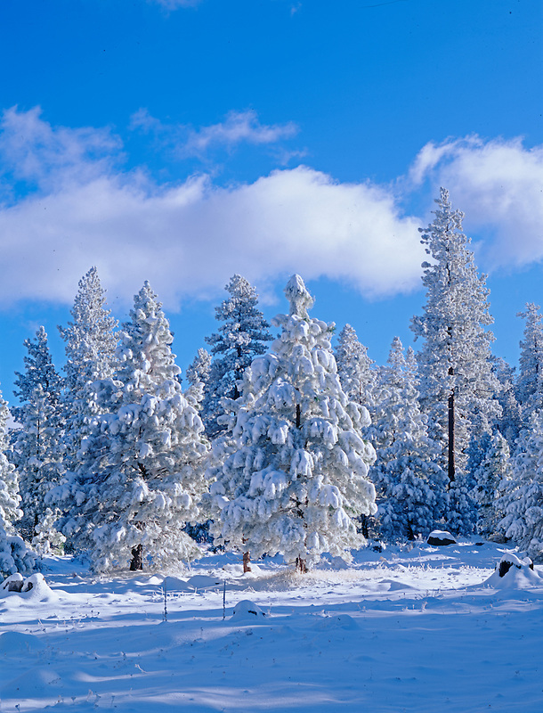Snow on trees in Freemont National Forest. Oregon.