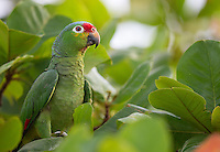 This Red-lored parrot perched close to the ground at our lodge one day.