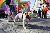 Pictured: A dog wearing a rainbow collar. Saturday 04 May 2019<br /> Re: Swansea Pride Parade in south Wales, UK.
