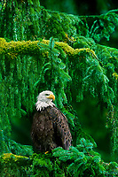 521040101v a wild adult bald eagle hailaeetus leucocephalus perches in a giant fir tree in a temperate rainforest in southeast alaska united states