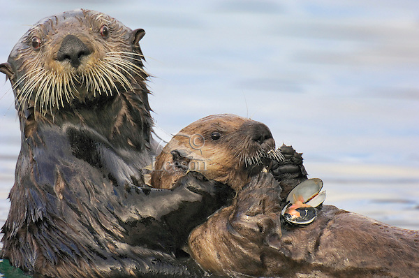 Sea Otter (Enhydra lutris) female holding young pup while it feeds on clam.  Pup has only been eating solid foods (clams, crabs) for a couple days.