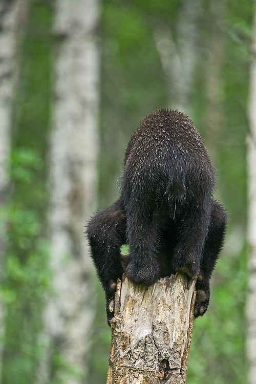 Black Bear cub on top of a snag trying to get to the bottom of things
