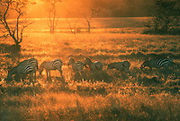 Wild African Zebras on the island of Calauit, Palawan, Philippines