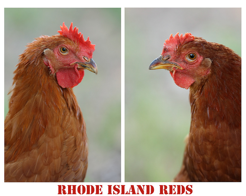 """The rich, reddish-black plumage and red comb of the """"Old-Type"""" Rhode Island Red chicken is an iconic symbol of American agriculture."""