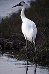 Whooping crane standing in water in Aransas National Wildlife Refuge, Texas