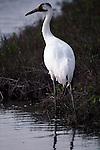 Whooping crane standing in water in Aransas National Wildlife Refuge, Texas