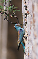 European Roller, Coracias garrulus,adult at nesting cavity in stone bridge, Samos, Greek Island, Greece, Europe