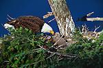 Bald eagle and chick, Orcas Island, Washington.