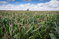 Forage maize growm for anaerobic digestion - August; Lincolnshire