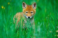 Wild coyote pup.  Western U.S., June.