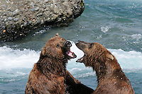 Two brown bears roar in mock battle at the McNeil River Falls,in Alaska's McNeil River State Game Sanctuary.