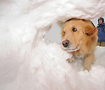 Jenny, a trained avalanche rescue dog in Crested Butte, Colorado, digs deep into a snow pile to find a buried skier.