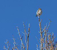 Though they stayed up high, it was nice to see pygmy owls during both of my visits this winter.