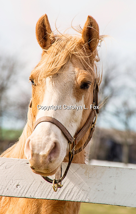 A palomino horse stands next to a white fence.