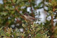 Samtkopf-Grasmücke, Samtkopfgrasmücke, Samtkopf - Grasmücke, Männchen, Sylvia melanocephala, Sardinian Warbler, Fauvette mélanocéphale