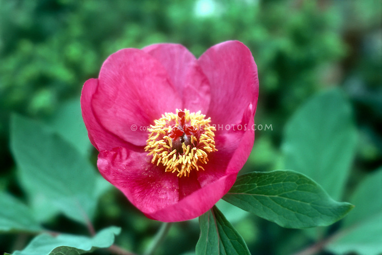 Paeonia mascula, common name Balkan, Wild or Male peony. Pink flowers herbaceous plant blooms in May spring. GR160