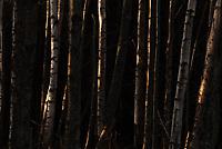 Low winter sun illuminates birch and alder trees at Anchorage's Earthquake Park.