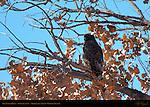 Dark Morph Red-tailed Hawk Juvenile, Bosque del Apache Wildlife Refuge, New Mexico