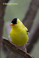 SW05-500z  American Goldfinch male, Carduelis tristis