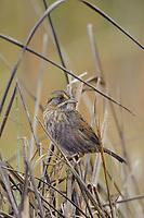 Seaside Sparrow (Ammodramus maritimus). Cameron Parrish, Louisiana. December.