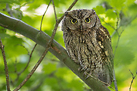 Adult female Western Screech-Owl (Megascops kennicottii). Multnomah County, Oregon. June.