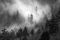 Fog from the Pacific Ocean permeates a pine forest along the Oregon Coast