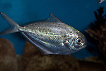 Ameican Butterfish swimming right