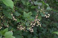 Schwarze Johannisbeere, Schwarze Johannis-Beere, Blüten, Ribes nigrum, Blackcurrant, Cassis