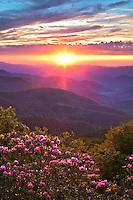 Sunset light illuminates the blooming rhododendron, Pisgah National Forest, Blue Ridge Parkway, North Carolina