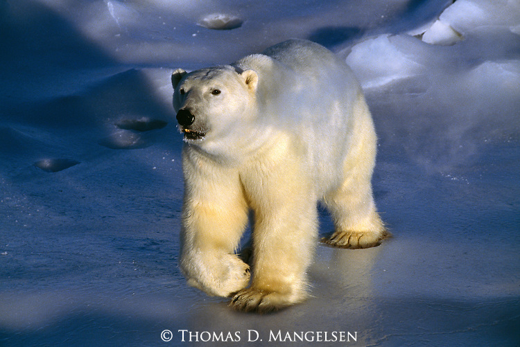 A polar bear walks across the ice; its breath visible in the cold arctic air.