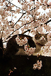 April 3, 2016, Tokyo, Japan - A cat sits on a branch of a cherry tree under fully bloomed cherry blossoms at a park in Tokyo on Sunday, April 3, 2016. Despite the rain, people enjoyed cherry blossom viewing party. (Photo by Yoshio Tsunoda/AFLO) LWX -ytd-