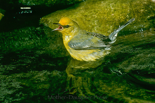 Blue Winged Warbler, Vermivora pinus, bathing and hisses to keep other birds away, June Missouri USA