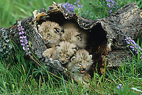 Canadian Lynx (Lynx canadensis), kittens in hollow tree, captive, USA