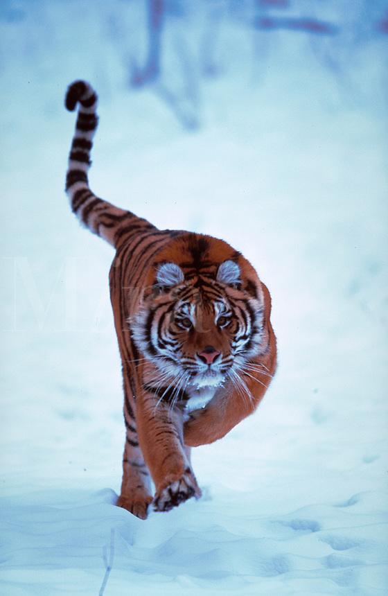 Portrait of a Siberian tiger (Panthera tigris).