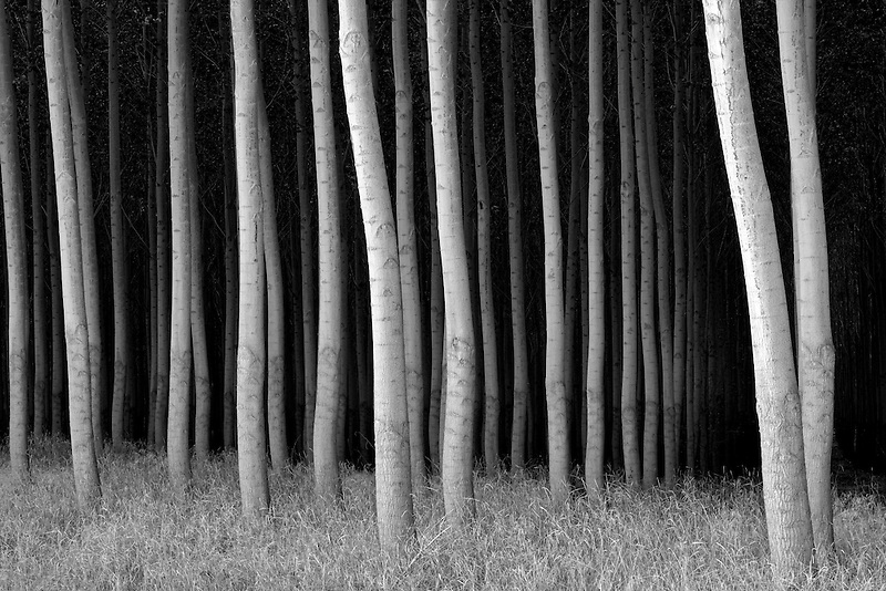 Black and white image of Pacific Albus trees. Morrow County, Oregon