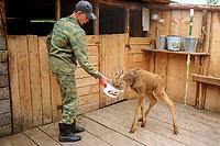 Eurasian elk calf, Alces alces, being fed oatmeal & milk in their pen at the Sumarokova Eurasian elk farm. Kostroma, Russia, Arctic