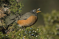 American Robin, Turdus migratorius, male eating juniper tree berries,Yellowstone NP,Wyoming, September 2005