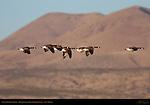 Canada Geese in Flight, Bosque del Apache Wildlife Refuge, New Mexico