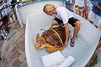 A volunteer of the Loggerhead Marine Life Center in Juno Beach, Florida, USA, Atlantic Ocean measures the shell or carapace of a sub-adult Loggerhead Sea Turtle (Caretta caretta) prior to release after rehabilitation.